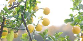 Citronniers